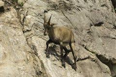 在峭壁的一只高地山羊 库存图片