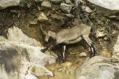 在峭壁的一只高地山羊 免版税库存图片