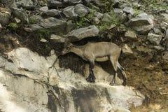 在峭壁的一只高地山羊 库存照片