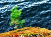 在峭壁的一棵小杉树 免版税库存图片