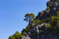 在峭壁的一棵美丽的杉木 免版税库存照片