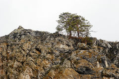 在峭壁的两棵杉树 免版税库存照片
