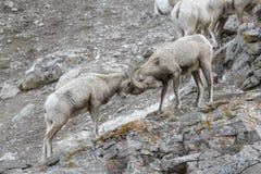 在峭壁的大角野绵羊公羊 免版税库存图片