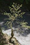 在峭壁的小树在河上 免版税库存照片