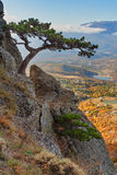 在峭壁的山松 免版税库存照片