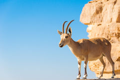 在峭壁的山羊 免版税库存图片