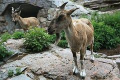 在峭壁的山羊 库存照片