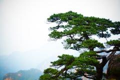 在峭壁的杉树 图库摄影