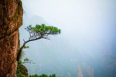 在峭壁的杉树 库存图片