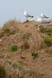在峭壁的海鸥在海 图库摄影