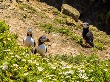 在峭壁的海鹦在Skomer海岛,威尔士上冠上 免版税库存照片