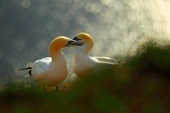 在峭壁的生活 对画象北Gannet,苏拉树bassana,在背景中平衡橙色光 在日落的两只鸟爱 免版税库存图片