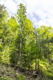在峭壁的结构树 免版税图库摄影