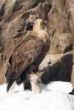 在峭壁的老鹰 库存照片