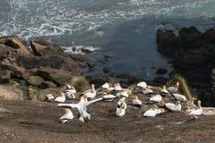 在峭壁的Gannets嵌套在Muriwai海滩上 库存图片