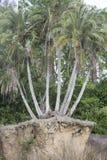 在峭壁边缘的棕榈树  免版税库存照片