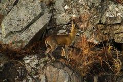 在峭壁面孔的Klipspringer 库存照片