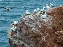 在峭壁,黑尔戈兰岛,德国的北gannets 库存照片