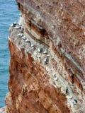 在峭壁,黑尔戈兰岛,德国的北gannets 免版税库存照片