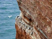 在峭壁,黑尔戈兰岛,德国的北gannets 免版税库存图片