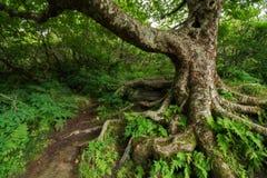 在崎岖的庭院的多节树 库存图片