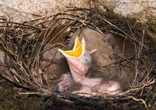 在嵌套哭泣的幼鸟 库存图片