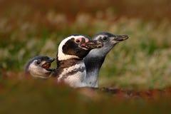 在嵌套地面孔、婴孩有母亲的和父亲, Magellanic企鹅,蠢企鹅magellanicus,嵌套季节的三只鸟, 库存照片