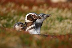 在嵌套地面孔,有母亲的, Magellanic企鹅,蠢企鹅magellanicus,嵌套季节,动物婴孩的三只鸟 免版税库存照片