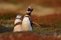 在嵌套地面孔,有母亲的, Magellanic企鹅,蠢企鹅magellanicus,嵌套季节,在Th的动物婴孩的两只鸟 免版税库存图片