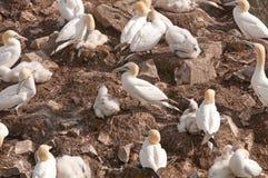 在嵌套海岛的Gannets 免版税库存照片