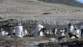 在嵌套的Gentoo企鹅 股票视频