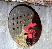 在嵌套箱的罗德岛红鸡鸡 免版税库存照片