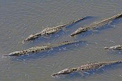 在巡逻的鳄鱼在一条热带河 库存图片