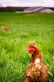 在巡逻的鸡在filds 免版税库存照片