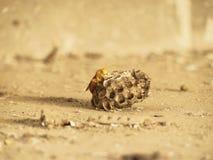 在巢关闭的黄色印地安纸质黄蜂图象 免版税库存照片