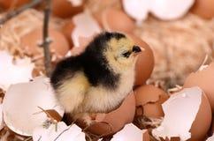 在巢复活节的小的鸡 库存图片