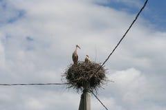 在巢涉水鸟的大,长腿,长收缩的鹳家庭与长期,壮健票据 免版税库存图片