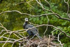 在巢的一只雕 免版税库存图片