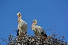 在巢的一对鹳夫妇 免版税库存图片