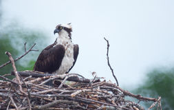 在巢的一根白鹭的羽毛 库存图片