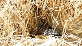在巢的一点吹哨的鸭子 股票录像