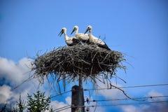 在巢的三个年轻人鹳 库存图片