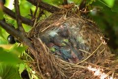 在巢的三只小鸡在峭壁一边的一棵树 免版税图库摄影
