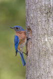 在巢的东部蓝鸫 图库摄影