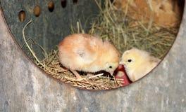 在巢的两只婴孩小鸡 免版税图库摄影