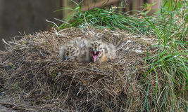 在巢的两只海鸥小鸡 免版税图库摄影