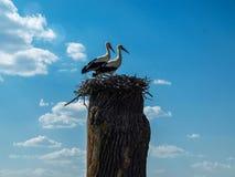 在巢的两只鹳在一棵老树在一个美好的春天晴天 免版税库存图片