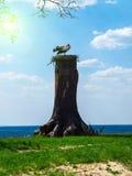 在巢的两只鹳在一棵老树在一个美好的春天晴天 免版税库存照片