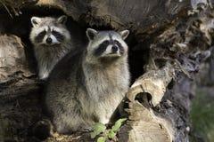 在巢的两头浣熊 库存照片