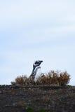在巢的企鹅 免版税库存图片